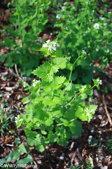 Sour16 Garlic Mustard