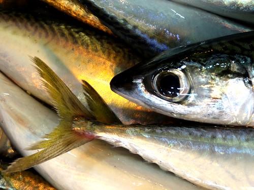 鯖魚的身體呈側扁紡綞形,身披圓鱗,有完整的側線