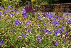 annual plant, flower, field, plant, herb, flora, meadow, bluebonnet,