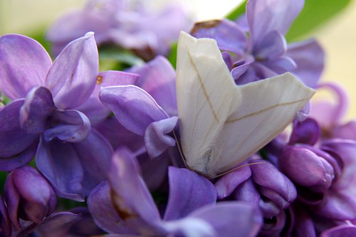 a moth napping in our lilacs