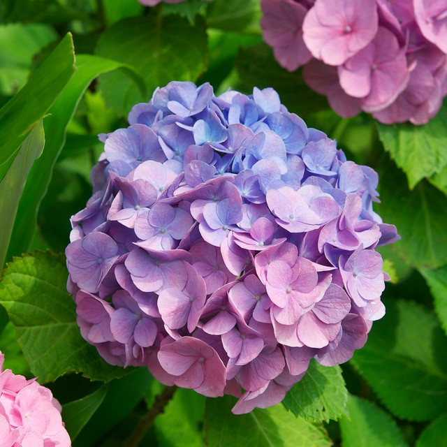 Hydrangea pink and blue