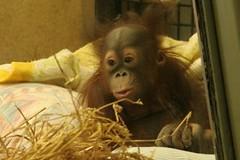 chimpanzee, animal, monkey, orangutan, mammal, great ape, ape,