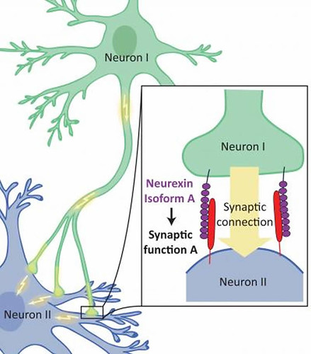 This diagram shows how neurons and synapses form in the brain.