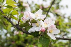 verger de pommiers en fleurs - Photo of Chanteloup