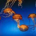 Orange Bell Jellyfish by Cole Chase Photography