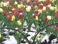 Snow falling on Tulips