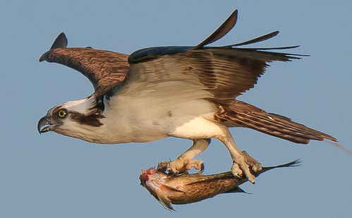 Osprey with Fish by dourob