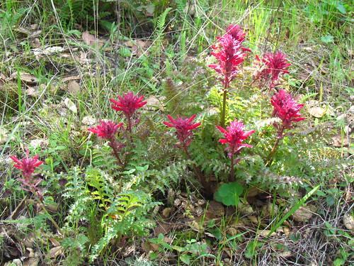 Indian Warrior (Pedicularis densiflora)