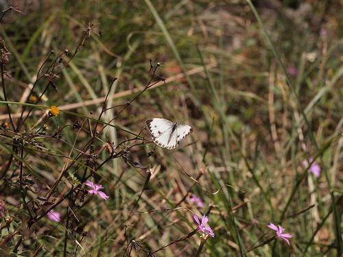 台灣紋白蝶