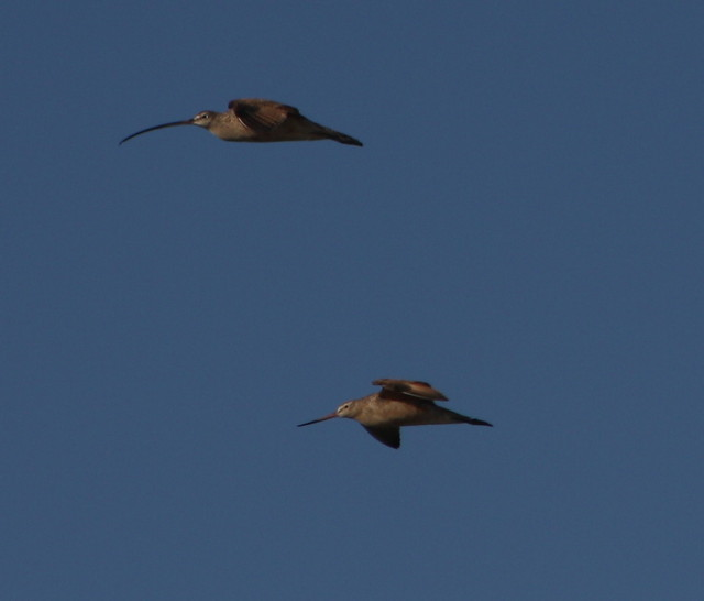 Long-billed Curlew and Marbled Godwit 3-31-2012