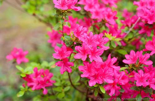 flowers azaleas fuscia nikond700