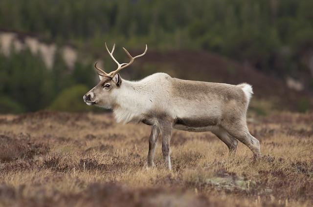 reindeer best