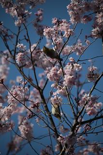 桜にメジロが2羽