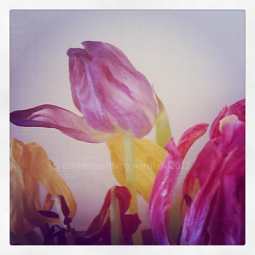 Dead tulips