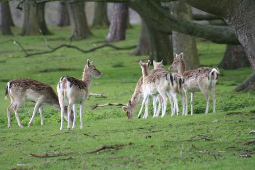 The Deer of Tatton Park