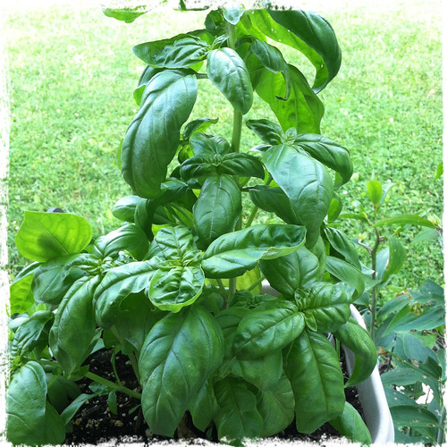 container basil