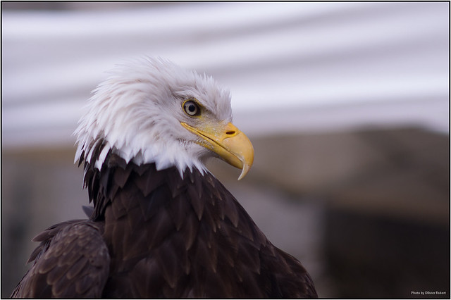 eagle-25075