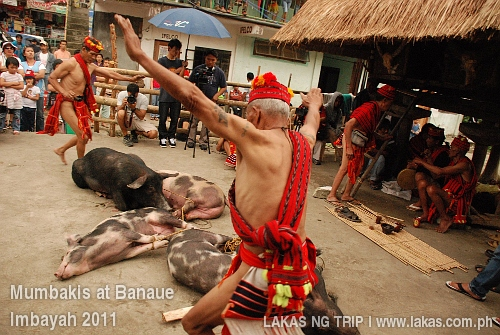 Mumbakis offering the pigs as sacrifices at Banaue Imbayah 2011