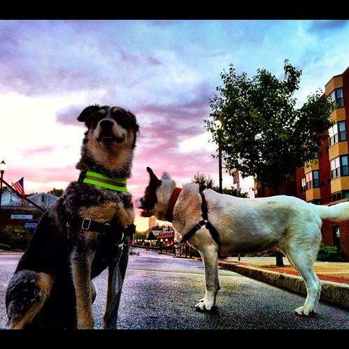 dogs square massachusetts squareformat marlboro hudson norwood aroundtown blueheeler dogfun iphoneography instagramapp uploaded:by=instagram foursquare:venue=4e886aee2c5bf84137ac8b3a