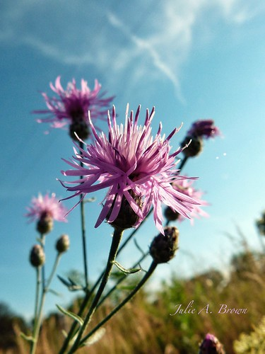 Spotted Knapweed- Invasive Species