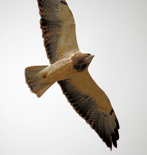 Swainson's Hawk