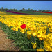 In a field of yellow tulips - Schwaneberg :: HDR