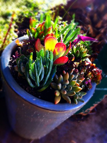 DIY: Potted Mixed Succulent Garden #2 by Sanctuary-Studio