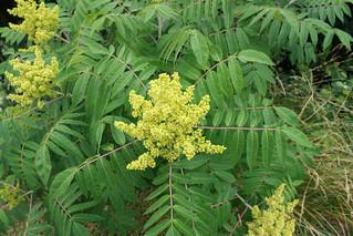 Smooth Sumac plant