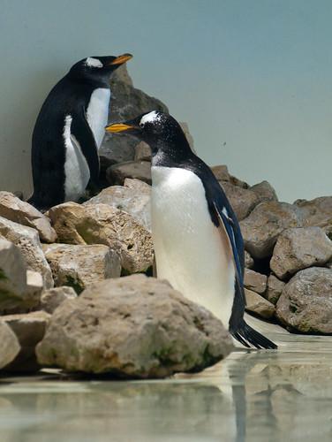Eselspinguin - Gentoo Penguin by Goldstern82