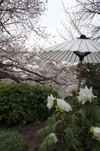 鶴岡八幡宮 ぼたんと桜