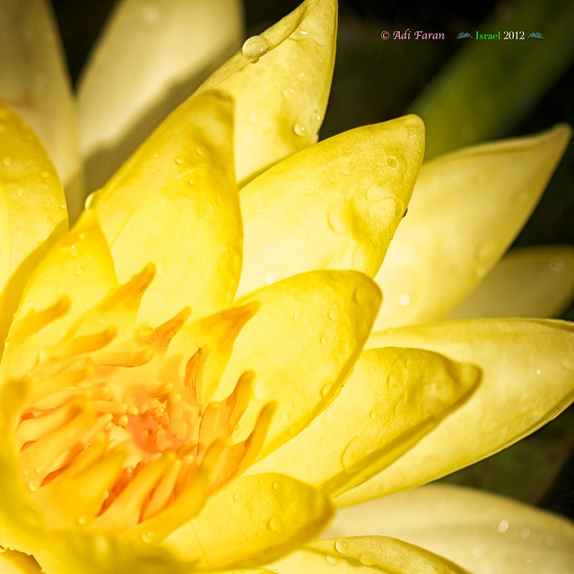 Water Lily - Flickr EXPLORED 14 May 2012