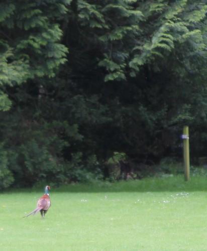 kennedy castle pheasant
