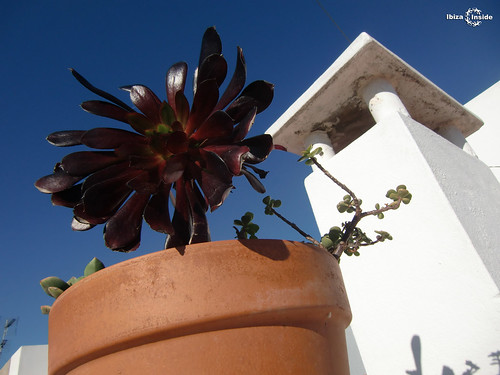 Ibiza Flower in pot