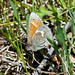 Small photo of Common Ringlet (Coenonympha tullia)
