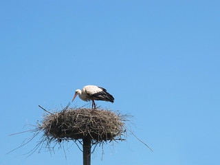 White stork on its nest