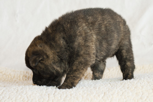 Kumi-Second-Litter-Pup2-Male(Tomo)-Day30d