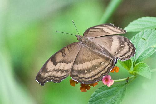 butterfly tn