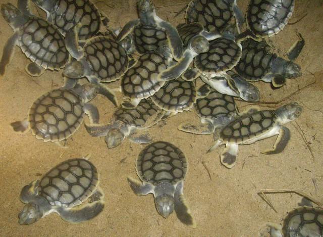 crías de tortugas planas