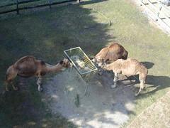 Camels at Busch Gardens, 2001