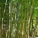 Bamboo Grove at Hakone Gardens by JohnCramerPhotography