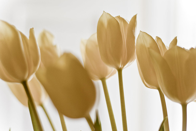 Tulips and Light