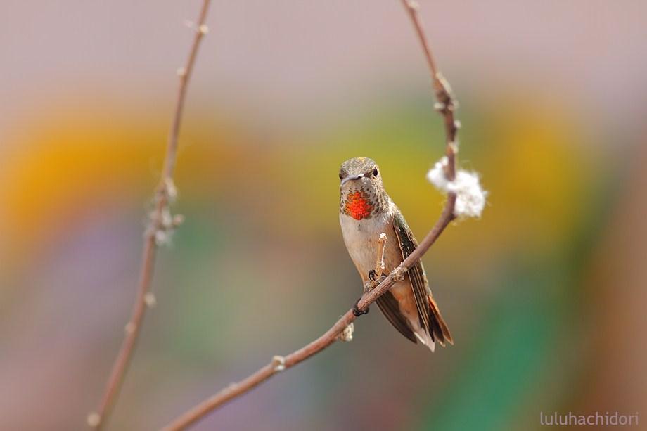 Allen's Hummingbird 052912-4