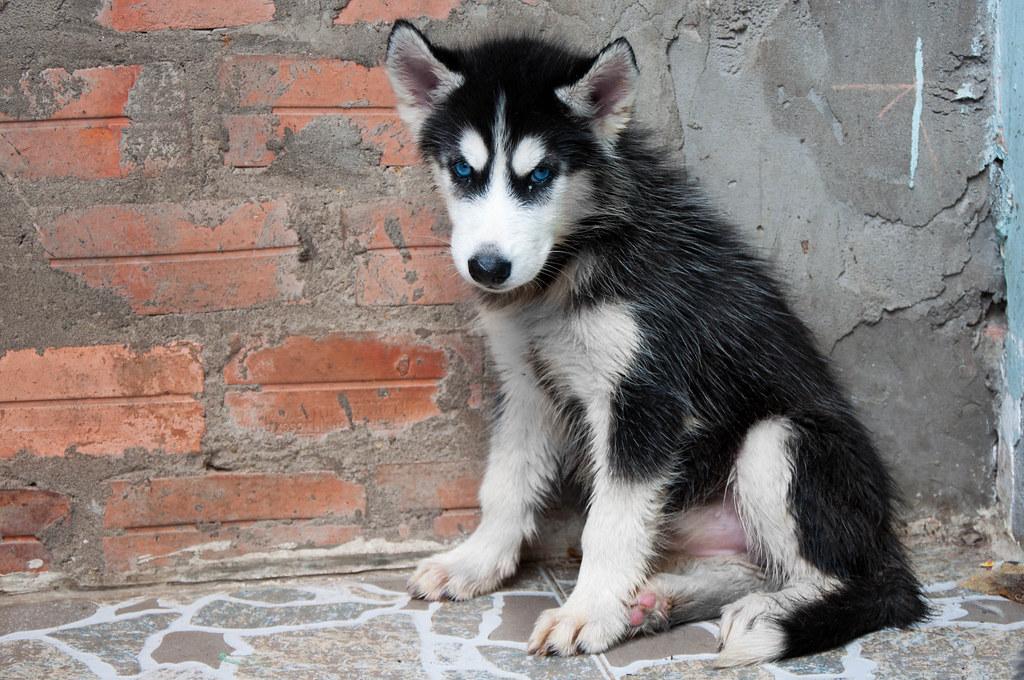 Bán chó Husky mắt xanh 6tr tuyệt đẹp - 8
