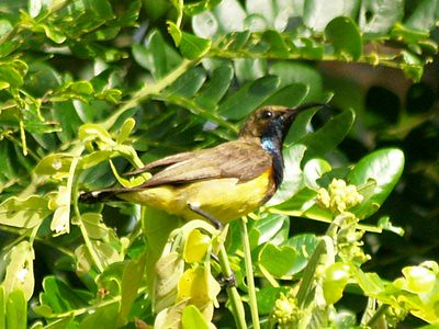 20120602_birdcountsunbirdmale