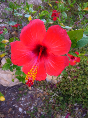 Hibiscus by Ginas Pics