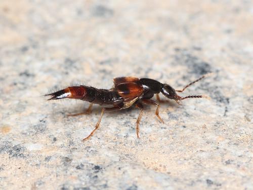 ツマグロアカバハネカクシ