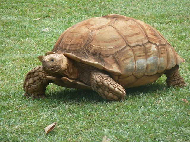 African Sulcata Tortoise Habitat African Sulcata Tortoise