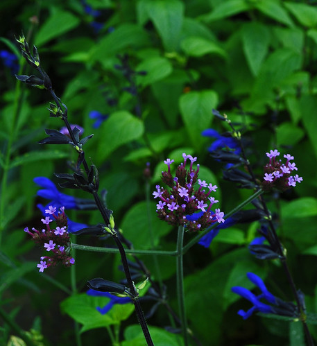 Verbena bonarensis and Salvia guaranitica 'Black and Blue'
