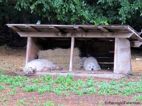 (10) Livestock guard dogs Daisy and Marta taking a break - FarmgirlFare.com