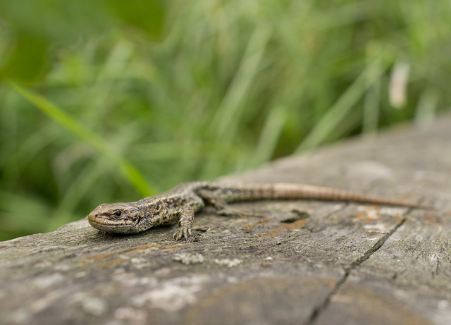 common lizard wide angle